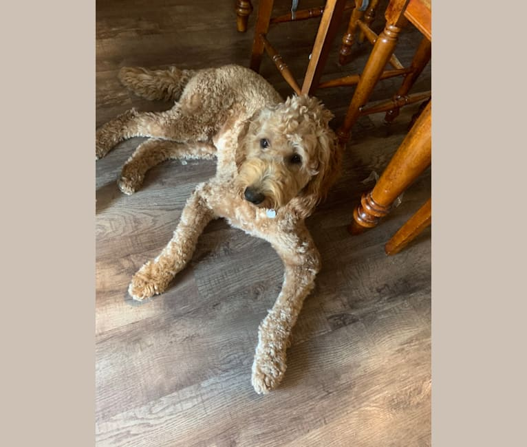 Photo of Prince, a Goldendoodle  in Columbia, TN, USA
