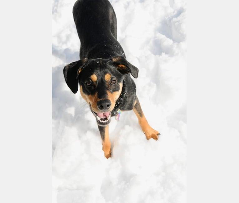 Photo of Stella, an Australian Shepherd, Black and Tan Coonhound, and Siberian Husky mix in Arkansas, USA