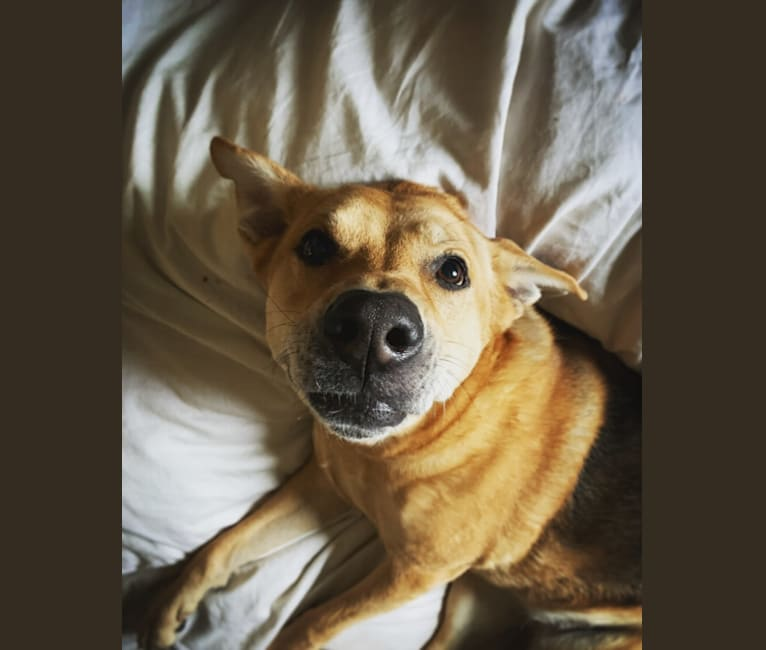 Photo of Stella, a German Shepherd Dog, American Pit Bull Terrier, and Mixed mix in Devore Animal Shelter, Shelter Way, San Bernardino, CA, USA