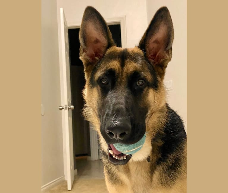 Photo of Loki, a German Shepherd Dog  in Hemet, California, USA