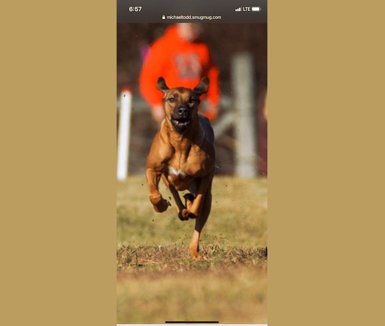 Photo of Izzy, a Rhodesian Ridgeback  in Woodbridge, Virginia, USA