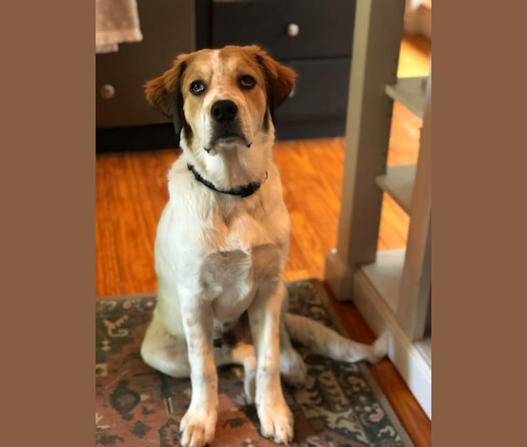 Photo of Murphy, a Great Pyrenees and American Bulldog mix in Texas, USA