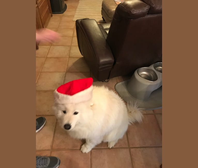 Photo of Whitney, a Samoyed  in null