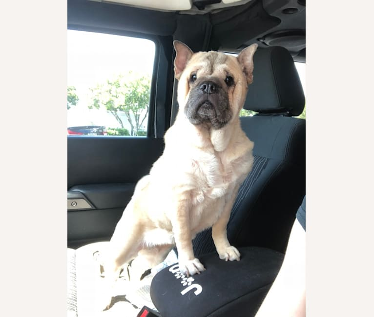 Photo of Bella, a Chinese Shar-Pei and Pug mix in Ohio, USA