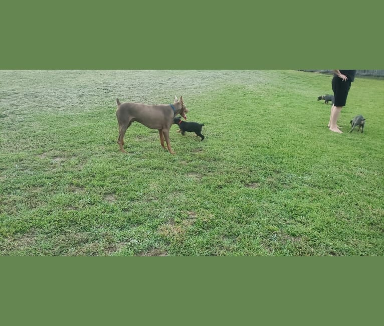 Photo of Gunner Zeus, a Doberman Pinscher  in Florida, USA