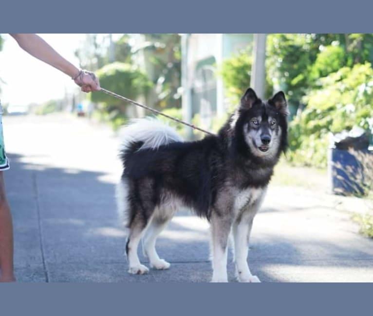 Photo of Thor, a Siberian Husky  in USA