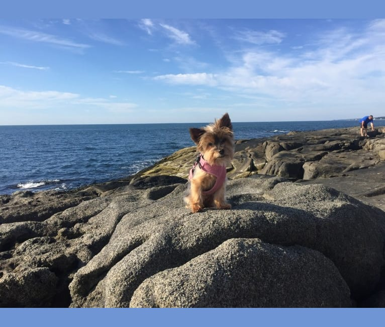 Photo of Bella, a Yorkshire Terrier  in Dorset, VT, USA