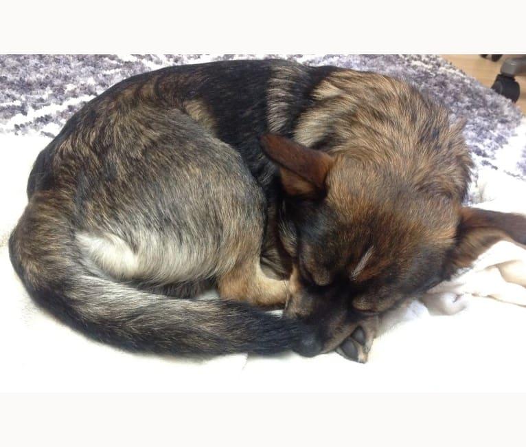 Photo of Loki, a Miniature Schnauzer, Pomeranian, Shih Tzu, and Chihuahua mix