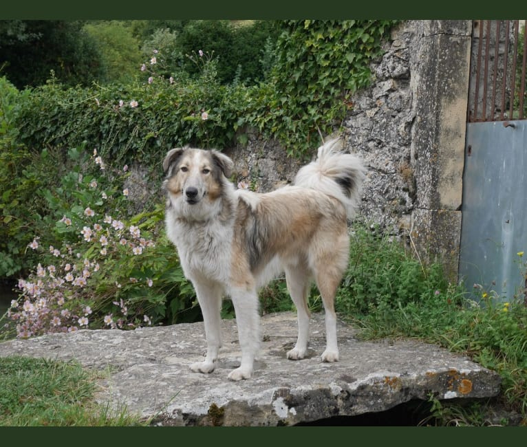 Photo of Warre, an Eastern European Village Dog and Collie mix in Athens, Griekenland