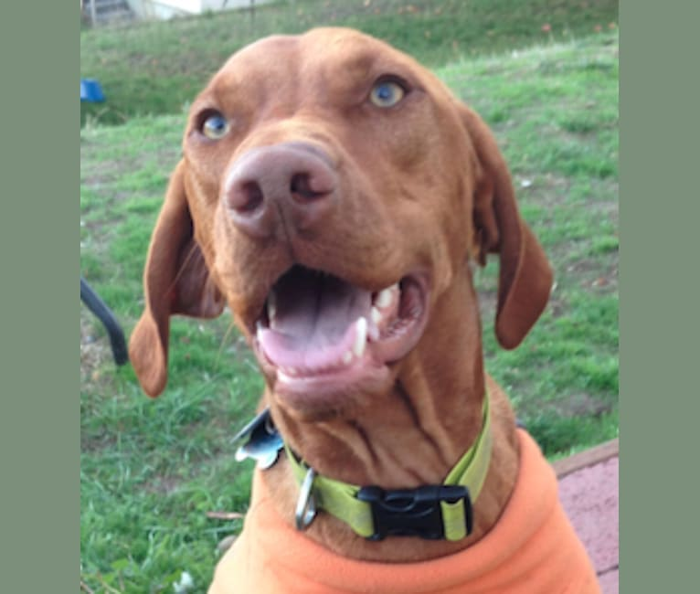 Photo of Ruger, a Vizsla  in Port Orchard, WA, USA