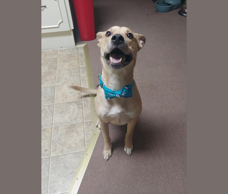 Photo of Domo, an American Pit Bull Terrier, Chow Chow, and American Staffordshire Terrier mix in Harrisburg, Pennsylvania, USA