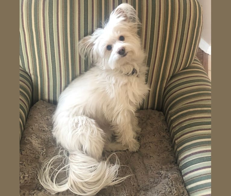 Photo of Bianca, a Poodle (Small), Chihuahua, Chinese Crested, Pekingese, and Mixed mix in Albuquerque, New Mexico, USA
