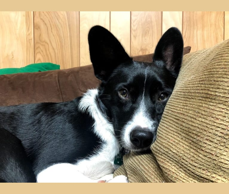 Photo of Newt, an Australian Cattle Dog, Border Collie, Chihuahua, and Beagle mix in Mt Airy, North Carolina, USA