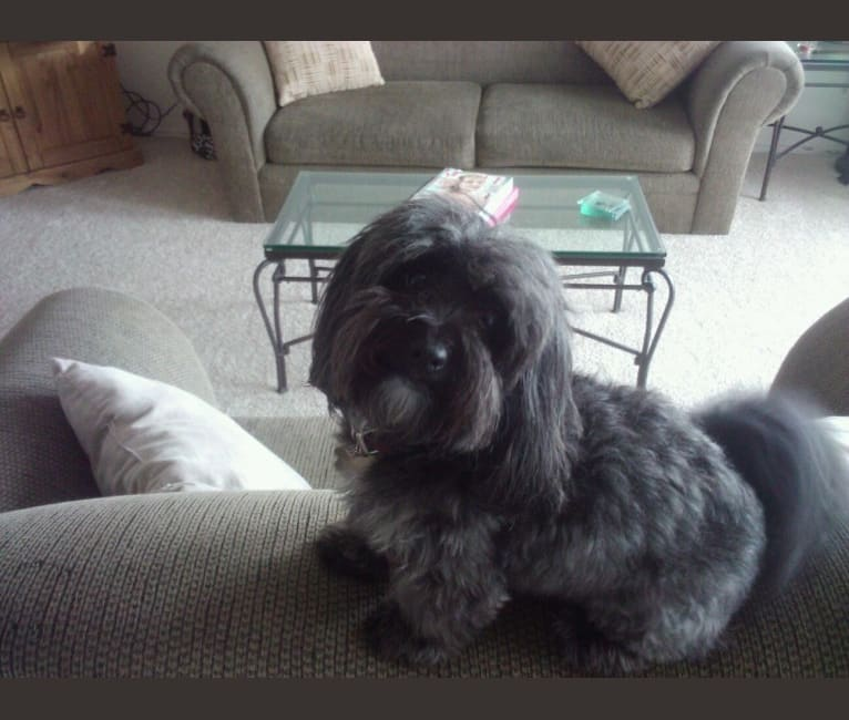 Photo of Murphy, a Poodle (Small), Cocker Spaniel, and Miniature Schnauzer mix in Mexico