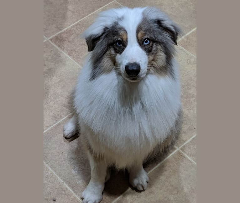Photo of Pippin, an Australian Shepherd Group  in Columbus, OH, USA