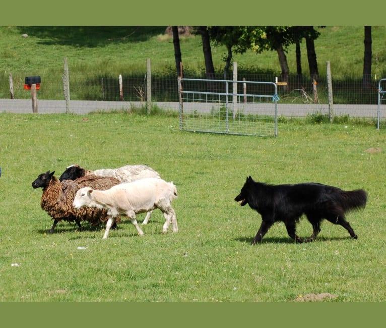 """Photo of """"Bluie"""", a Belgian Shepherd  in Machias, WA, USA"""