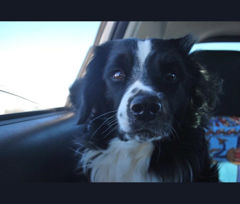 Photo of Pepe, a Miniature/MAS-type Australian Shepherd and English Springer Spaniel mix in Kansas, USA