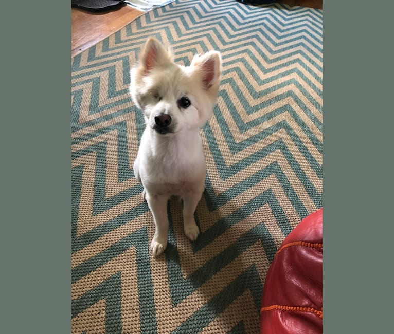 Photo of Sunny, a Pomchi (12.3% unresolved) in Tallahassee, Florida, USA