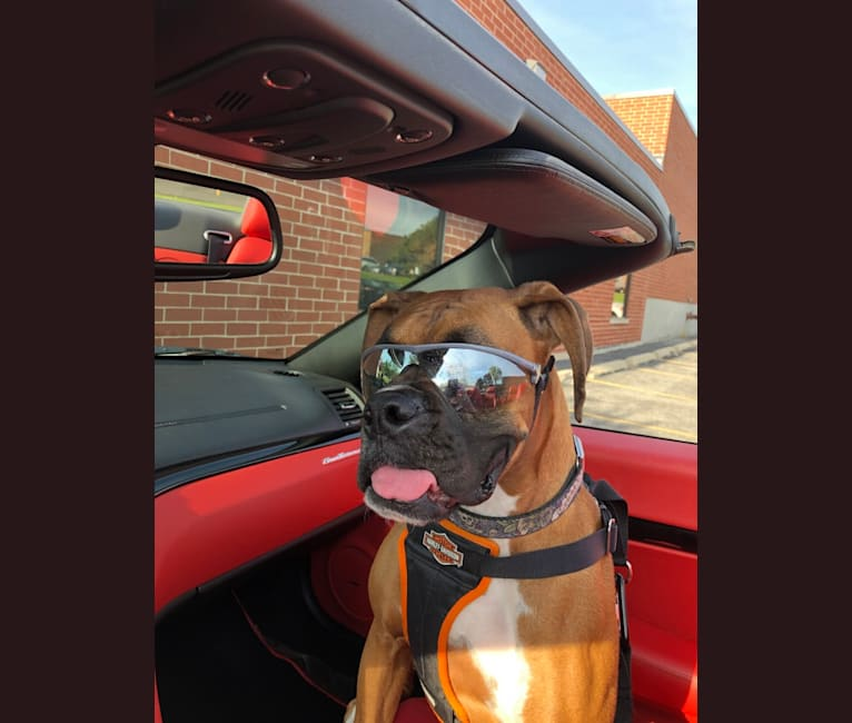 Photo of Zeus, a Boxer  in Indiana, USA
