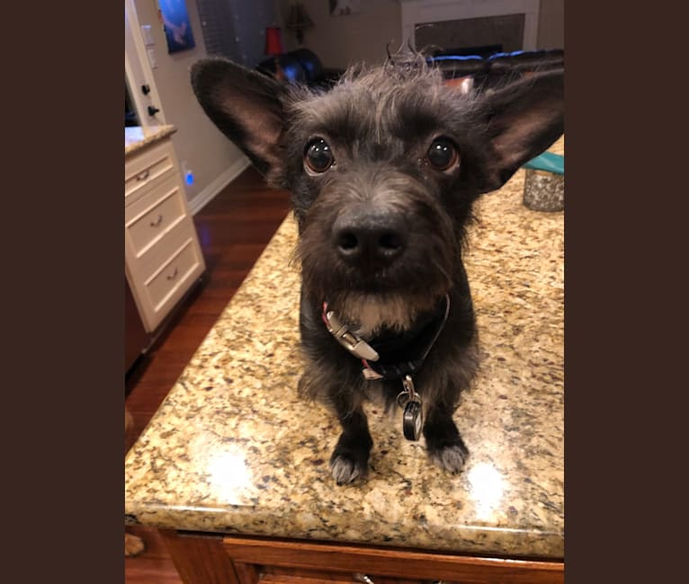Photo of Harry Winston, a Chihuahua, Miniature Schnauzer, Poodle (Small), and Dachshund mix in College Station, Texas, USA
