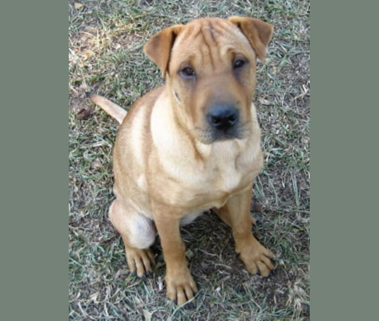 Photo of Jing, a Chinese Shar-Pei, Labrador Retriever, and Collie mix in Volant, Pennsylvania, USA