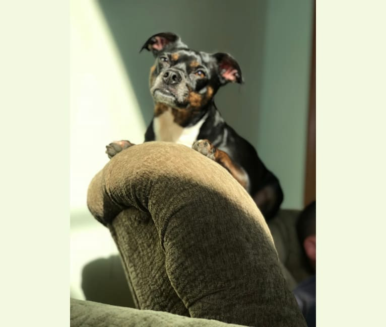 Photo of Jax, a Rat Terrier, Boston Terrier, Chihuahua, and Mixed mix in Goshen, Indiana, USA
