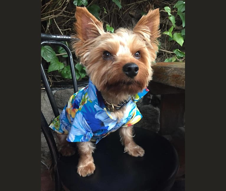 Photo of Rafa (aka Rifraf), a Yorkshire Terrier  in SF, California, USA