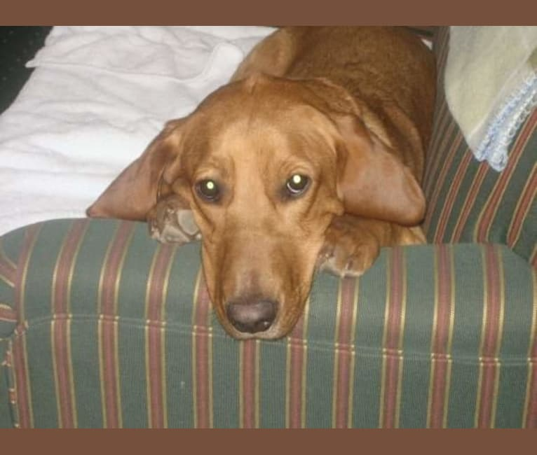 Photo of Ernie, a Basset Hound and Golden Retriever mix in KCMO, Missouri, USA