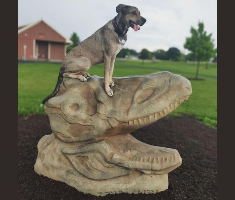 Photo of Kaya Rose, a Great Dane, Labrador Retriever, German Shepherd Dog, Black and Tan Coonhound, and Doberman Pinscher mix in Benton, Kentucky, USA