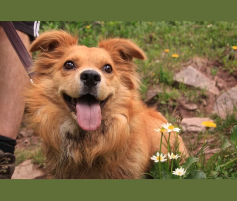 Photo of Scout, a German Shepherd Dog, Great Pyrenees, Chow Chow, and Mixed mix in Taos, New Mexico, USA