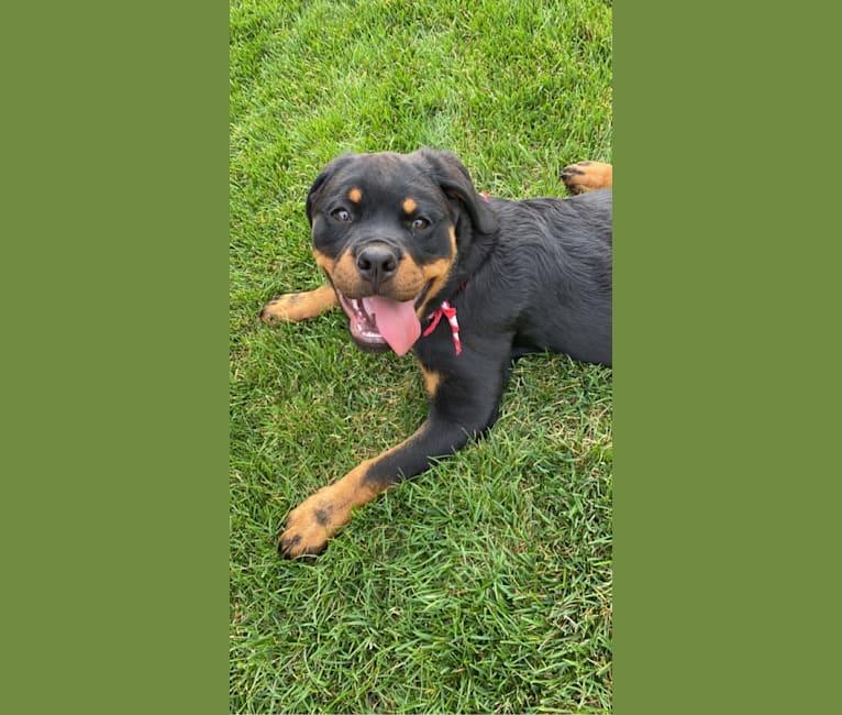 Photo of Lochavens Oakley, a Rottweiler  in Hooper, UT, USA