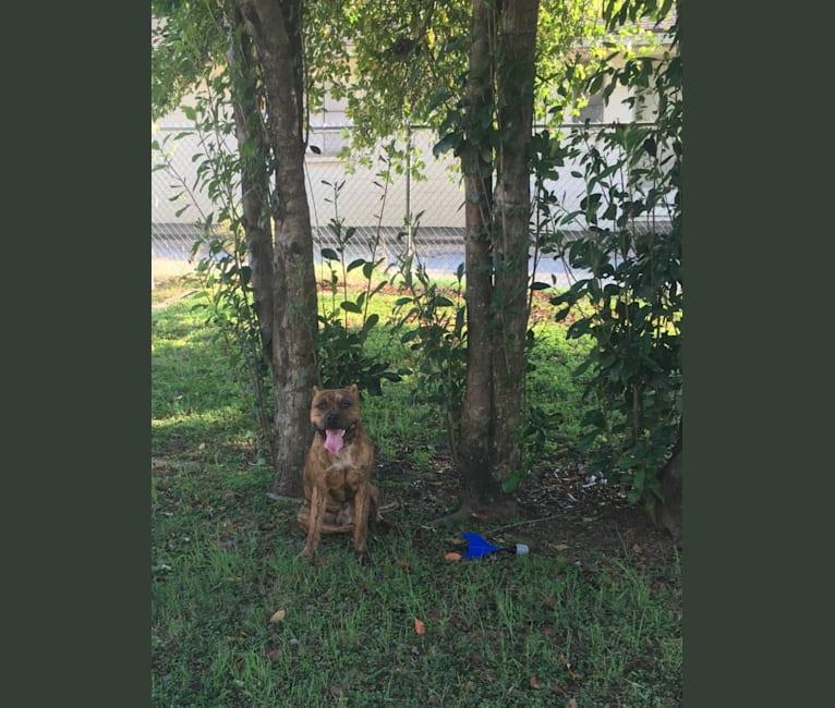 Photo of Kodak, an American Pit Bull Terrier  in Huntsville, AL, USA