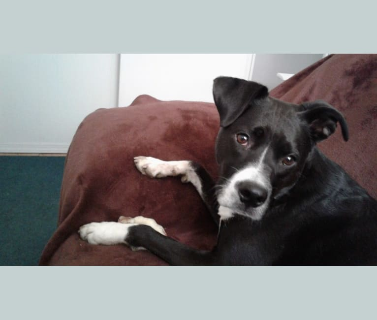Photo of Gracie, a Boxer and Australian Cattle Dog mix in Dallas, Texas, USA