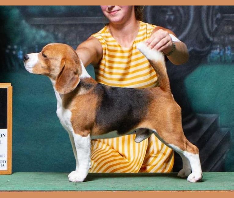 Photo of Thresher, a Beagle  in United States