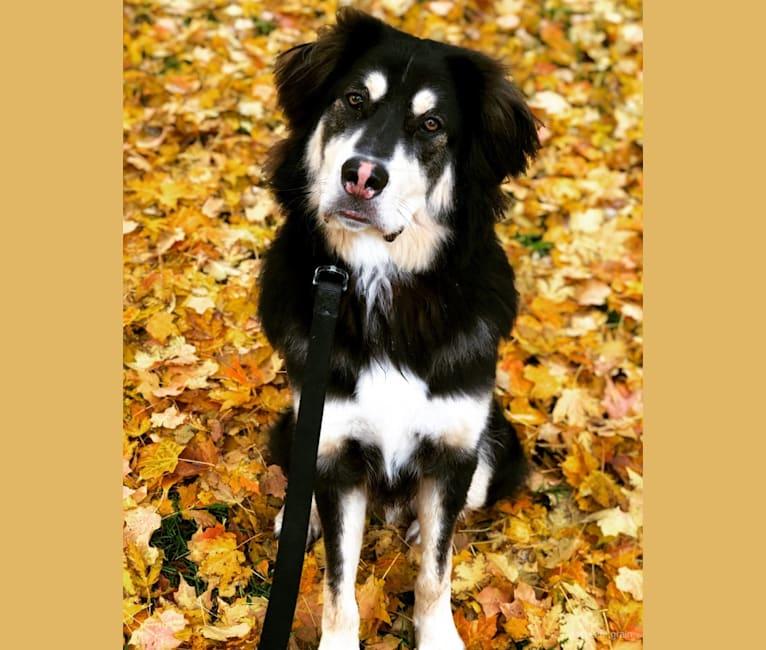 Photo of Hodor, a Tibetan Mastiff, German Shepherd Dog, and American Pit Bull Terrier mix in Missouri, USA