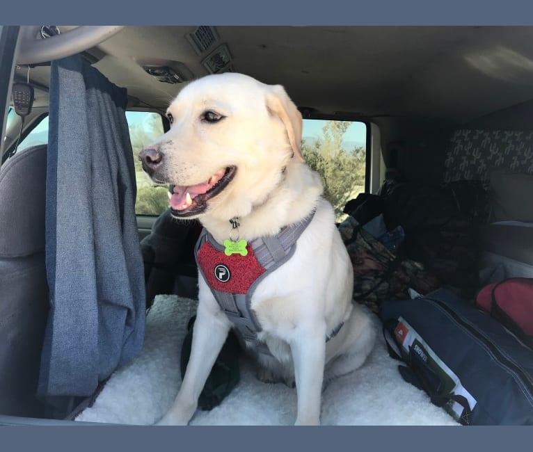 Photo of Barley, a Siberian Husky, Labrador Retriever, American Pit Bull Terrier, American Eskimo Dog, and Mixed mix in Montebello, California, USA