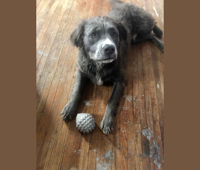 Photo of Milo, an American Pit Bull Terrier  in Nebraska, USA