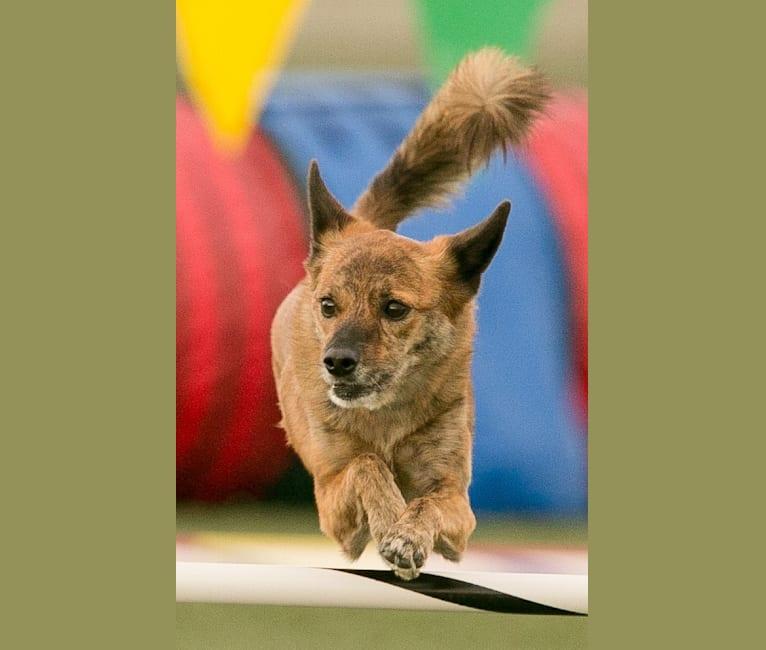 Photo of Tigger, a Pomeranian, Shih Tzu, and Mixed mix