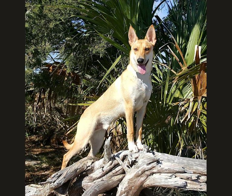 Photo of Tanka, a Carolina Dog