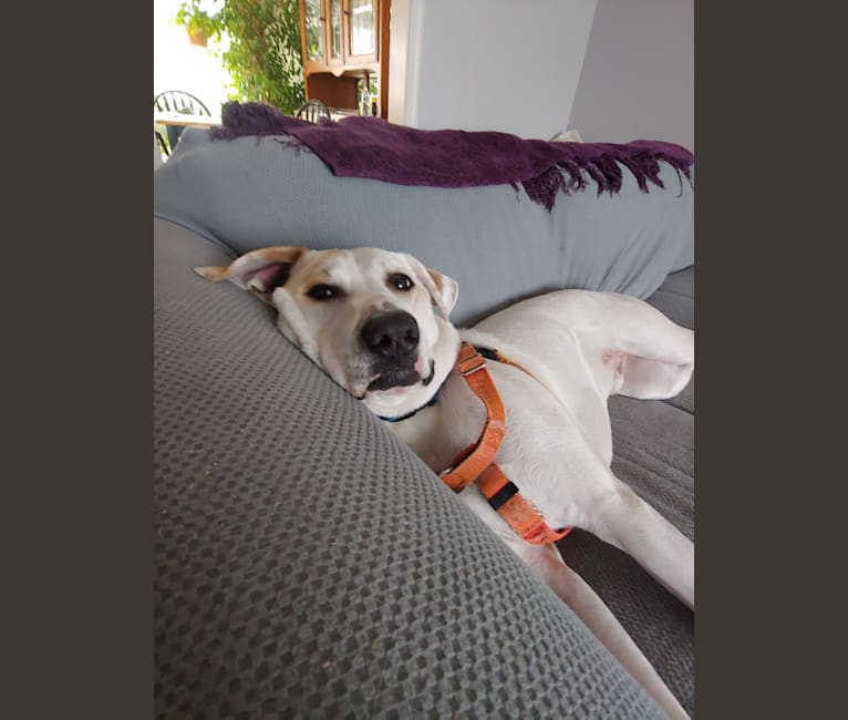 Photo of Patch, an American Pit Bull Terrier, Boxer, and English Springer Spaniel mix in Alabama, USA