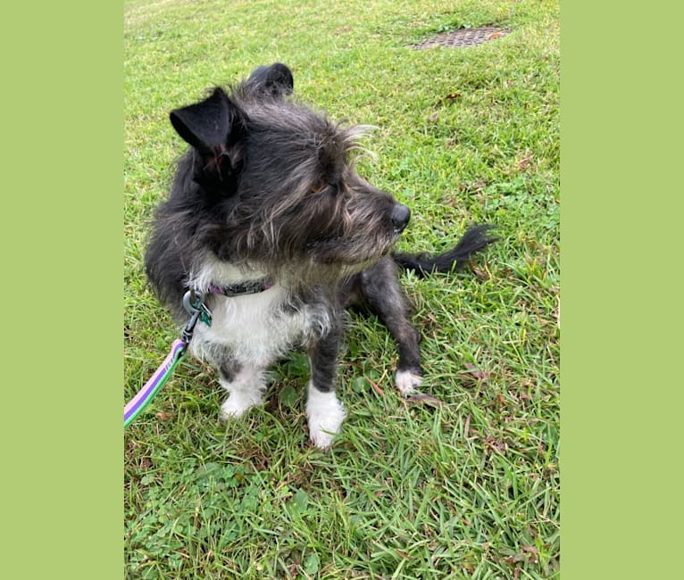 Photo of Bluebelle, a Russell-type Terrier, American Staffordshire Terrier, American Pit Bull Terrier, and Pekingese mix in Savannah, GA, USA