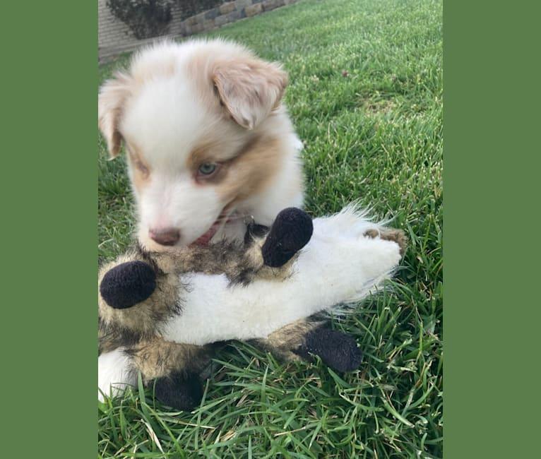 Photo of Laika, an Australian Shepherd Group  in Kentucky, USA