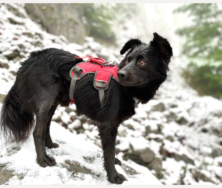 Photo of Bleu, a Chihuahua, American Pit Bull Terrier, Pomeranian, and Mixed mix in Riverside, CA, USA