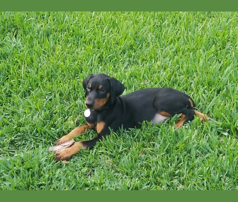 Photo of Sascha, a Doberman Pinscher  in Poolville, TX, USA