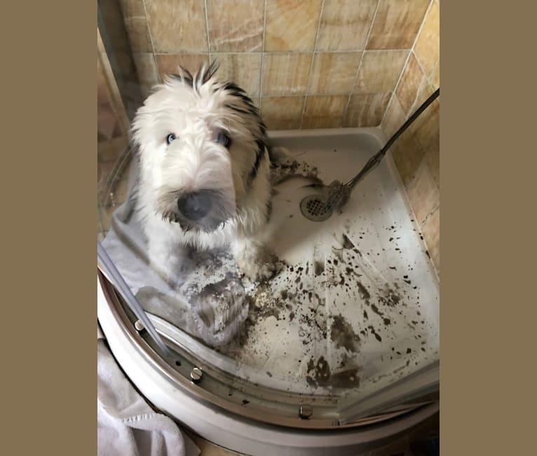 Photo of Samson, an Old English Sheepdog  in Marion Center, PA, USA