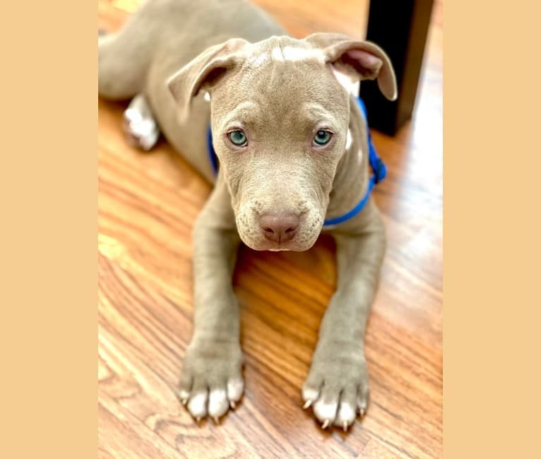 Photo of Tyson, an American Bully  in Nevada, USA