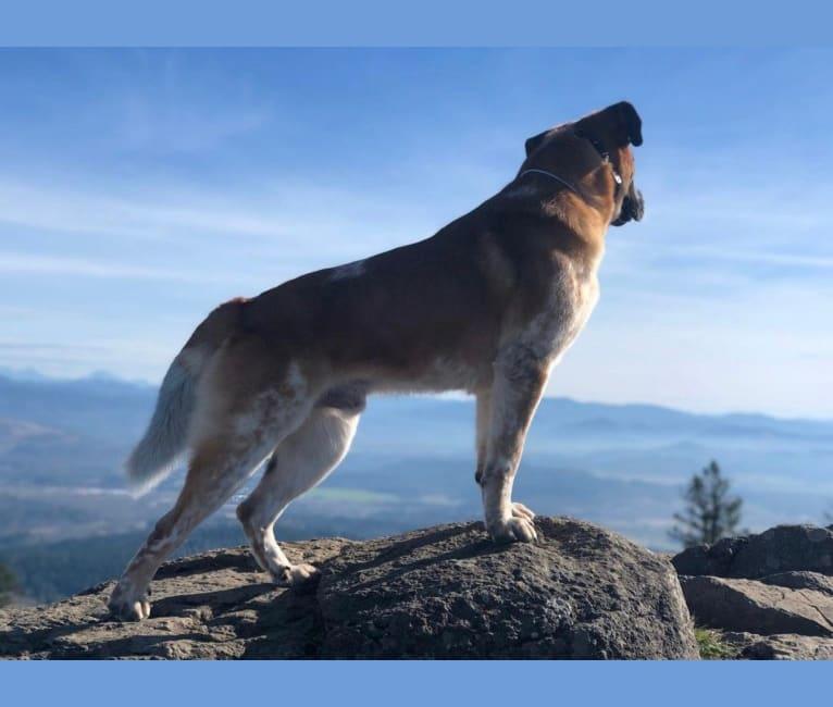 Photo of Nova, a Saint Bernard and German Shepherd Dog mix in L A, CA, USA