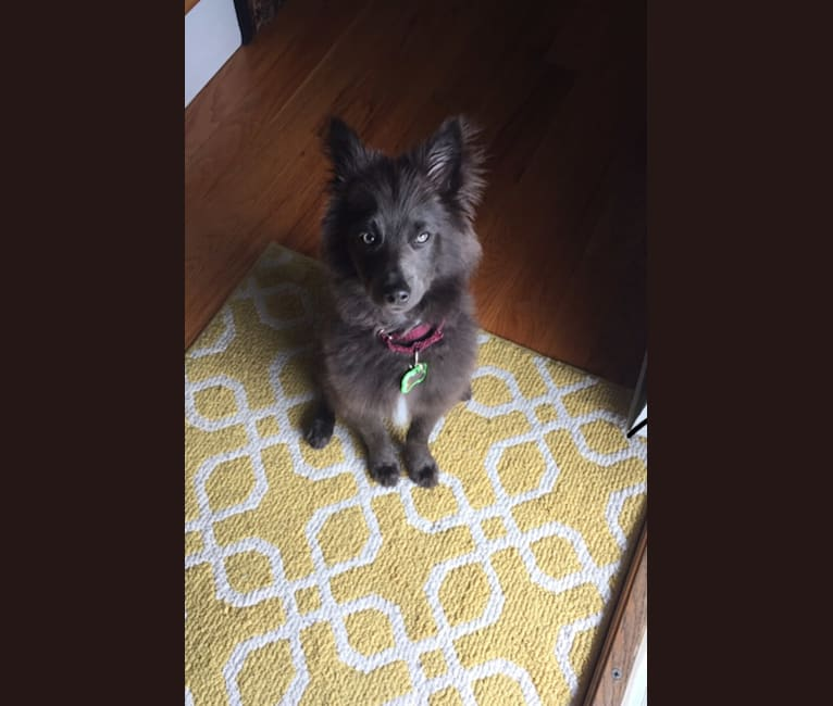 Photo of Butternut, a Pomeranian, Collie, and Mixed mix in Tennessee, USA