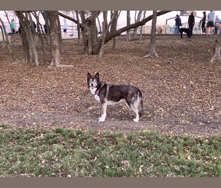 Photo of Lucky, a Siberian Husky, Border Collie, and Alaskan Malamute mix in El Paso, Texas, USA