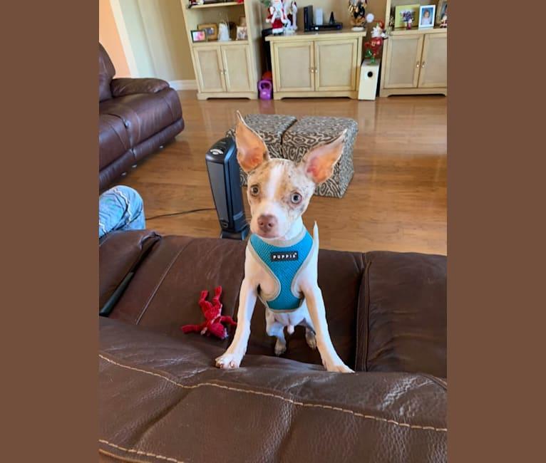Photo of Jaxon Russell Klare, a Chihuahua  in Punta Gorda, FL, USA